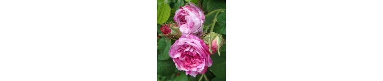 Rožių kvapas